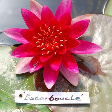 Escarboucle