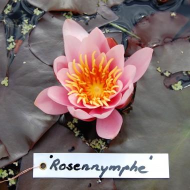 Rosennymphe