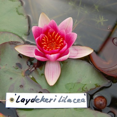 Ladydekeri Lilacea