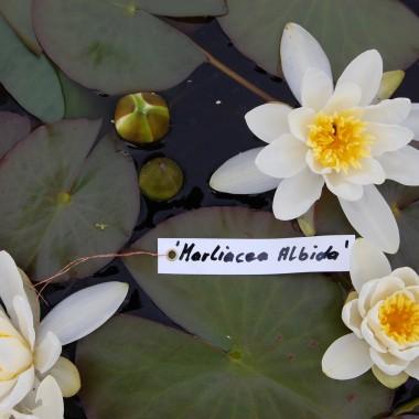 Marliacea Albida